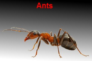 Ant spray bunbury pest control