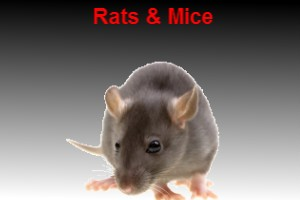 Rat and mouse pest control bunbury