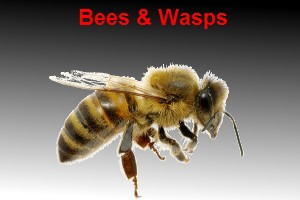 bee treatment wasp treatment bunbury pest control